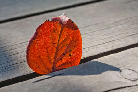 aspen leaf: Autumn leaf in the sunlight. Aspen leaf. Close-up, texture and silhouette. Wood background.