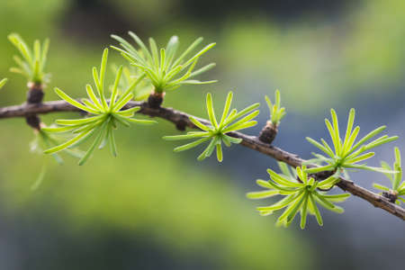 Macro view fir tree branch. evergreen leaves needles, gray background. shallow depth of field. Stock Photo