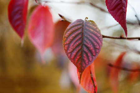 Red autumn leaf closeup. October park scene with tree branch. Soft focus. Shallow depth of field photo