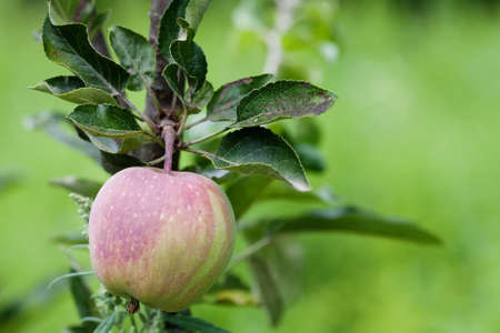 Red apple and green leaves tree branch, sunny day orchard scene. Farmers food concept. soft focus. shallow depth field Stock Photo
