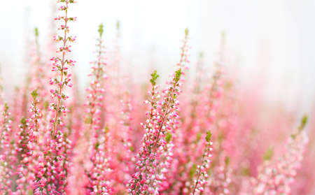Violet Heather flowers field Calluna vulgaris. Small pink lilac plants, white background. soft focus. copy space shallow depth field. Stock Photo