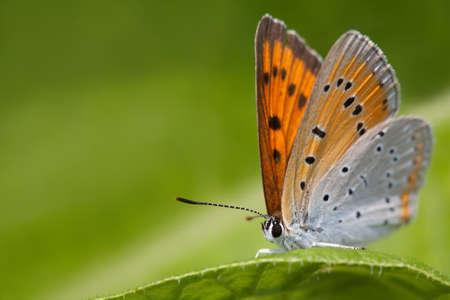 Butterfly macro view. Blue orange gossamer-winged Polyommatus icarus on greenery leaf background, macro view shallow depth field