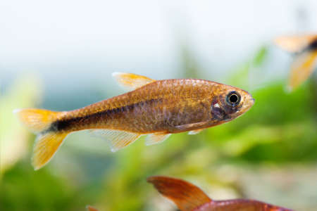 Beautiful aquarium fish Silver Tipped Tetra swimming freshwater aquarium tank photo.