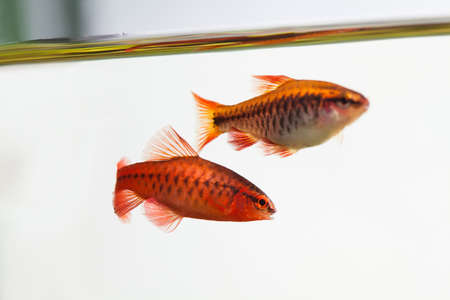 Pair aquarium fishes swimming water surface. Red color Puntius titteya cherry barb belonging to the family Cyprinidae. Shallow depth of field, selective focus.