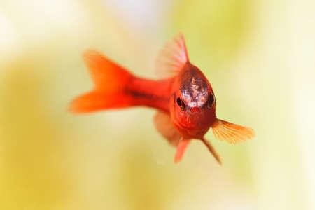 Beautiful red fish on soft green background. Male barb swimming tropical freshwater aquarium tank. Puntius titteya belonging to the family Cyprinidae. Macro view, shallow depth of field.