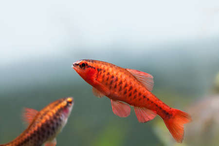 barbus: Colorful exotic fish close-up. Freshwater aquarium tank with Barbus Puntius titteya fishes. Aquatic nature still life scene. Shallow depth of field, blue green soft background. Stock Photo