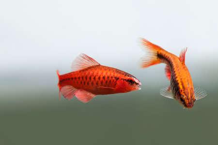 fishtank: Pair red orange exotic aquarium fishes macro view. Puntius titteya male female barb swimming. Aquatic nature still life scene. Shallow depth of field.