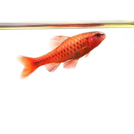 fishtank: Dominant cherry barb male fish. Tropical freshwater aquarium water surface on white background. Puntius titteya belonging to the family Cyprinidae