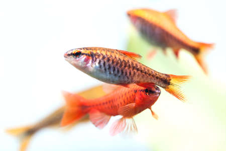 freshwater aquarium plants: Group beautiful aquarium fishes red orange color. Cherry barb fishes macro nature concept. shallow depth of field, selective focus photo Stock Photo