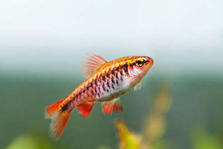 fishtank: Fishtank landscape with red orange fish cherry Barb. Tropical freshwater aquarium with female Puntius titteya pet belonging to the family Cyprinidae