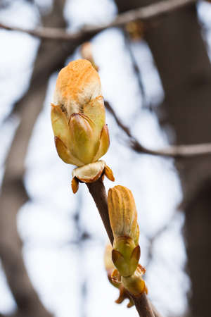 Chestnut tree twig, macro view branch buds, first leaves. Springtime park still life photo. Shallow depth field, soft focus.