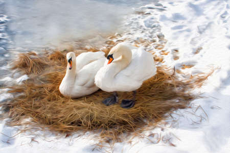 Pair white swans resting on dry cane, winter season frozen lake. Oil painting textured artwork based on photo.