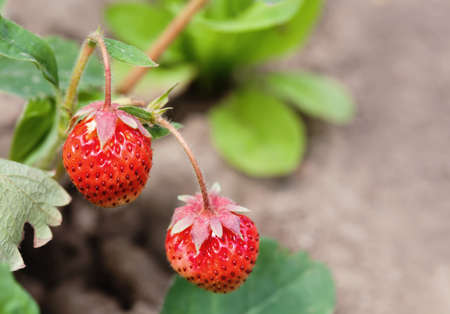 Ripe red strawberries growing field. Garden berry macro view. shallow depth of field, soft selective focus