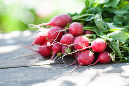 Ripe radishes on vintage wooden table background. Sunny day farmers harvest still life. Shallow depth field, selective focus.