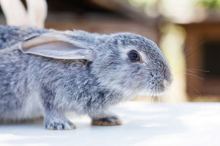 Easter bunny concept. Small cute rabbit, fluffy gray pet. soft focus, shallow depth of field copy space