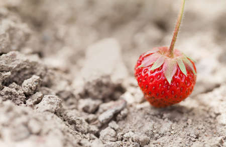 Ripe organic red strawberry on the ground. beautiful garden berry macro view. shallow depth of field, soft selective focus.