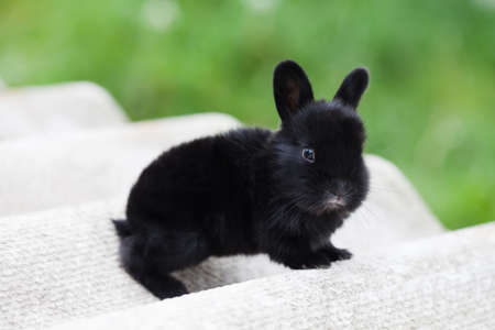 Easter bunny concept. Small cute rabbit, fluffy black pet. soft focus, shallow depth of field copy space Stock Photo