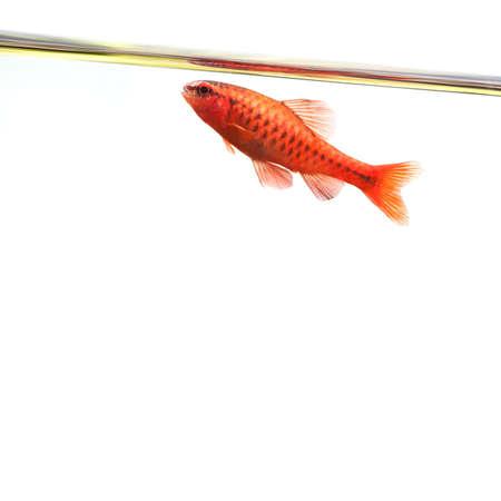 aquarium hobby: Dominant cherry barb male fish. Tropical freshwater aquarium water surface on white background. Puntius titteya belonging to the family Cyprinidae. Stock Photo
