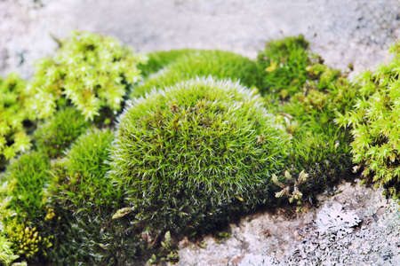 Green moss still life on stone background, Beautiful rock plant surface, shallow depth of field. Selective focus. Stock Photo