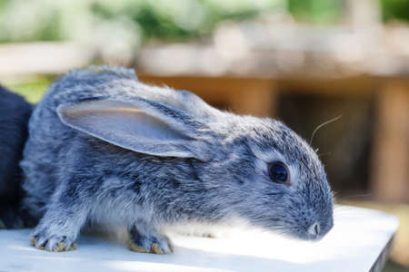 Cute rabbit, fluffy gray pet. soft focus, shallow depth of field copy space Stock Photo