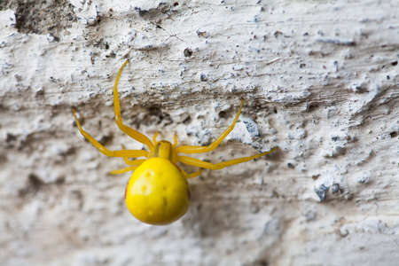 Yellow spider insect on stone wall background. Misumena vatia Goldenrod flower Crab Spider. Macro view, selective focus photo Stock Photo