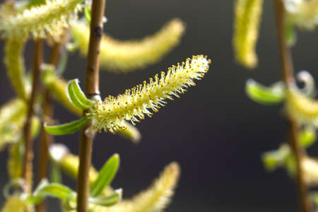 Blooming osier, sallow, salix tree macro view. Willow branch spring time blooming. soft focus, shallow depth field.