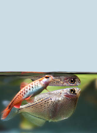 Cherry barb flying fish Gasteropelecus sternicla freshwater aquarium tank landscape. Shallow depth field selective focus. Stock Photo