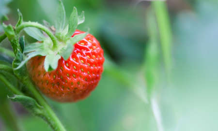 Close-up organic red strawberry growing field. beautiful garden berry macro view. shallow depth of field, soft selective focus. Stock Photo