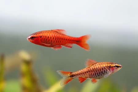 Pair red orange exotic aquarium fishes macro view. Puntius titteya male female barb swimming. Aquatic nature still life scene. Shallow depth of field.