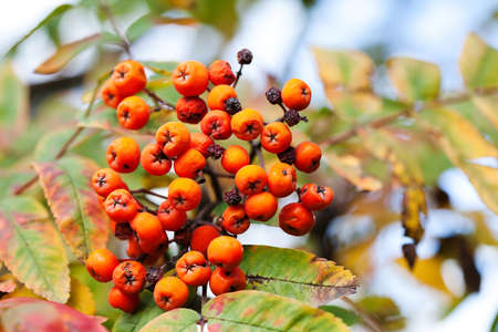 Mountain rowan fruits ashberries. Autumn harvest still life scene. Soft focus blurred background photography Stock Photo