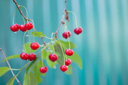 Red cherry branch tree with berry raindrops, summer time garden background. Selective focus. Green background. Imagens