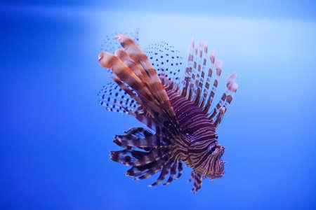 Swimming red lionfish. Pterois miles. dangerous, extraordinary, poisonous ocean fish. blue background. soft focus copy space Stock Photo