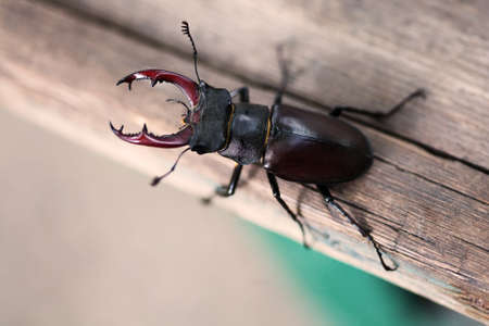 Stag beetle Lucanus cervus on wood. Red List rare insect macro view, shallow depth field. Selective focus