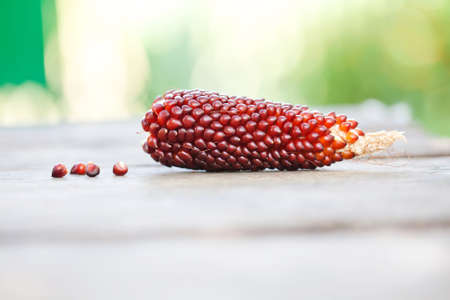 Corn cobs brown red color Maize seeds macro view. Shallow depth field close-up photo, selective focus. Soft blurred green background