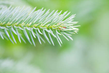 Photography Xmas greenery tree branch. Natural spruce tree. Fir tree soft and blurry background. Daylight. macro view, soft focus Stock Photo
