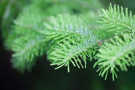 Natural green spruce branch. Fir tree soft and blurry background. Daylight. macro view, soft focus Stock Photo