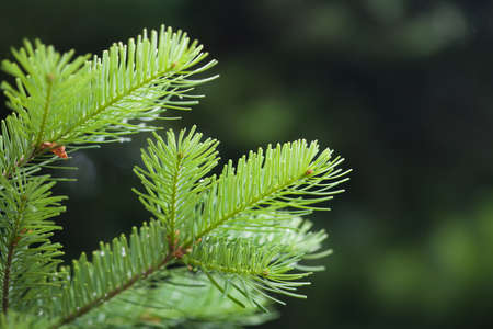 Green spruce branch. soft and blurry background. macro view, soft focus