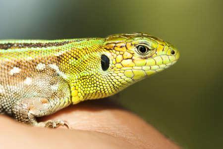 Green lizard macro view. shallow depth of field, soft focus.