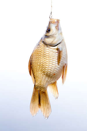 Crucian golden carp on a fishing line tackle, fisherman catch concept. Beautiful decorative golden Carassius against gradient background. Stock Photo
