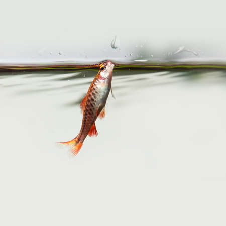 Aquarium fish grabs oxygen near the water surface. Red orange fish cherry Barb Puntius titteya family Cyprinidae Stock Photo