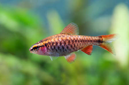 Fishtank landscape with red orange fish cherry Barb. Tropical freshwater aquarium, female Puntius titteya pet belonging to the family Cyprinidae.