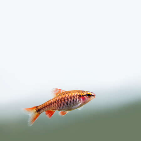 Fishtank landscape with red orange fish cherry Barb. Tropical freshwater aquarium with female Puntius titteya pet belonging to the family Cyprinidae. Copy space Stock Photo