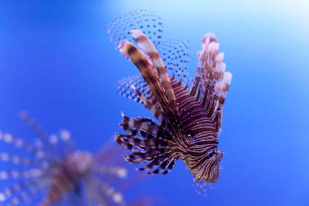 Dangerous poisonous fish swimming blue background. Red lionfish Pterois miles in ocean. soft focus, copy space. Stock Photo