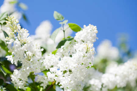 Beautiful spring time floral background with blossoming common Syringa vulgaris lilacs bush white cultivar. Springtime landscape with bunch of tender flowers. lily-white blooming plants background against blue sky. Sof focus.