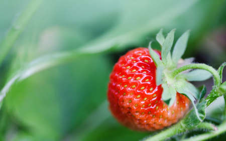 Strawberry plant in garden. Organic food concept with ripe red berry textured. shallow depth of field, soft focus. Imagens - 102025104
