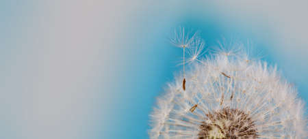 Beautiful summer time floral wallpaper. Fluffy dandelion flower with flying seeds macro view. Blue white background. shallow depth of field. copy space.