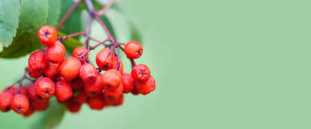 Mountain rowan ash branch berries on green background. Autumn harvest still life scene. Soft focus blurred background photography. Copy space. 写真素材 - 102025106