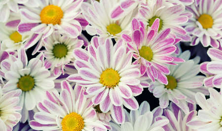 Violet chrysanthemums floral background. Colorful white pink yellow mums flowers close-up photo. Selective focus. Stock Photo
