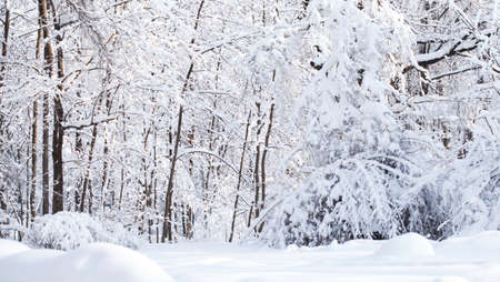 Snowfall in the forest, cold winter weather scene, snow covered trees landscape.