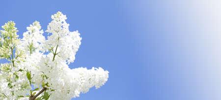 Blühende gemeine Sorte Syringa vulgaris Flieder Buschweiß. Frühlingslandschaft mit zartem Blumenstrauß. lilienweiße blühende Pflanzen, Kopierraum.